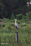 Cocui heron [colombia_4743]
