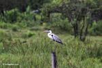 Cocui heron [colombia_4749]