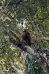 Hawk [colombia_4784]