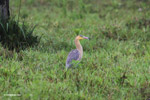Heron [colombia_4806]