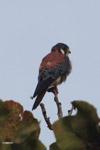 American Kestrel (Falco sparverius) [colombia_4847]