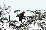 Hawk [colombia_4854]