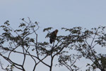 Hawk [colombia_4857]