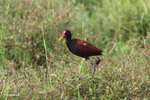 Adult wattled jacana [colombia_4876]