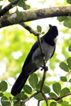 Violaceous Jay (Cyanocorax violaceus) [colombia_4906]