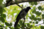 Violaceous Jay (Cyanocorax violaceus) [colombia_4909]