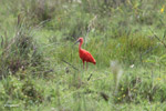 scarlet ibis [colombia_5023]
