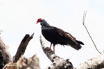 Turkey vulture [colombia_5037]