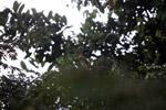 Hoatzin [colombia_5047]