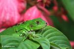 Green iguana [colombia_5056]