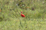 Scarlet ibis [colombia_5084]