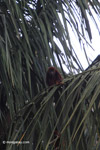 Red howler monkey [colombia_5092]