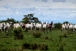 Cattle [colombia_5096]