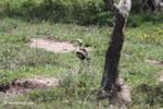 Orinoco goose [colombia_5105]