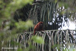 Red howler monkey [colombia_5109]