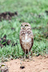 Burrowing Owl (Athene cunicularia) [colombia_5117]