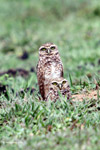 Burrowing Owl (Athene cunicularia) [colombia_5143]