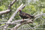 Turkey vulture [colombia_5144]