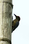 Melanerpes Woodpecker [colombia_5152]