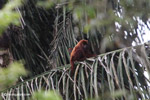Red howler monkey [colombia_5168]