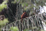 Red howler monkey [colombia_5170]