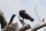 Turkey vulture [colombia_5172]
