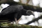 American Black Vulture (Coragyps atratus) [colombia_5199]