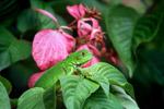 Common green iguana [colombia_5208]