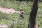 Orinoco goose [colombia_5223]