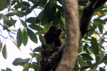 Red howler monkey [colombia_5230]