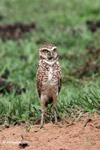 Burrowing Owl (Athene cunicularia) [colombia_5249]