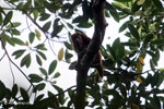 Red howler monkey [colombia_5261]