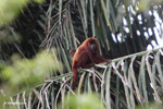 Red howler monkey [colombia_5269]