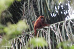 Red howler monkey [colombia_5277]