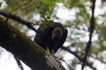 American Black Vulture (Coragyps atratus)
