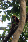 Red howler monkey [colombia_5301]