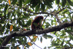 Red howler monkey [colombia_5304]