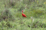 Scarlet ibis [colombia_5323]