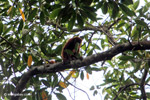 Red howler monkey [colombia_5353]