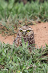 Burrowing Owl (Athene cunicularia) [colombia_5355]