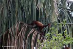 Red howler monkey [colombia_5420]