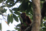 Red howler monkey [colombia_5422]