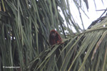 Red howler monkey [colombia_5433]
