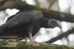 Black vulture [colombia_5435]
