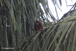 Red howler monkey [colombia_5449]
