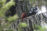 Red howler monkey [colombia_5483]
