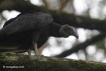Black vulture [colombia_5487]