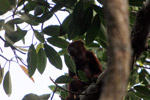Red howler monkey [colombia_5503]