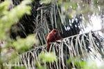 Red howler monkey [colombia_5505]