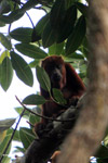 Red howler monkey [colombia_5532]